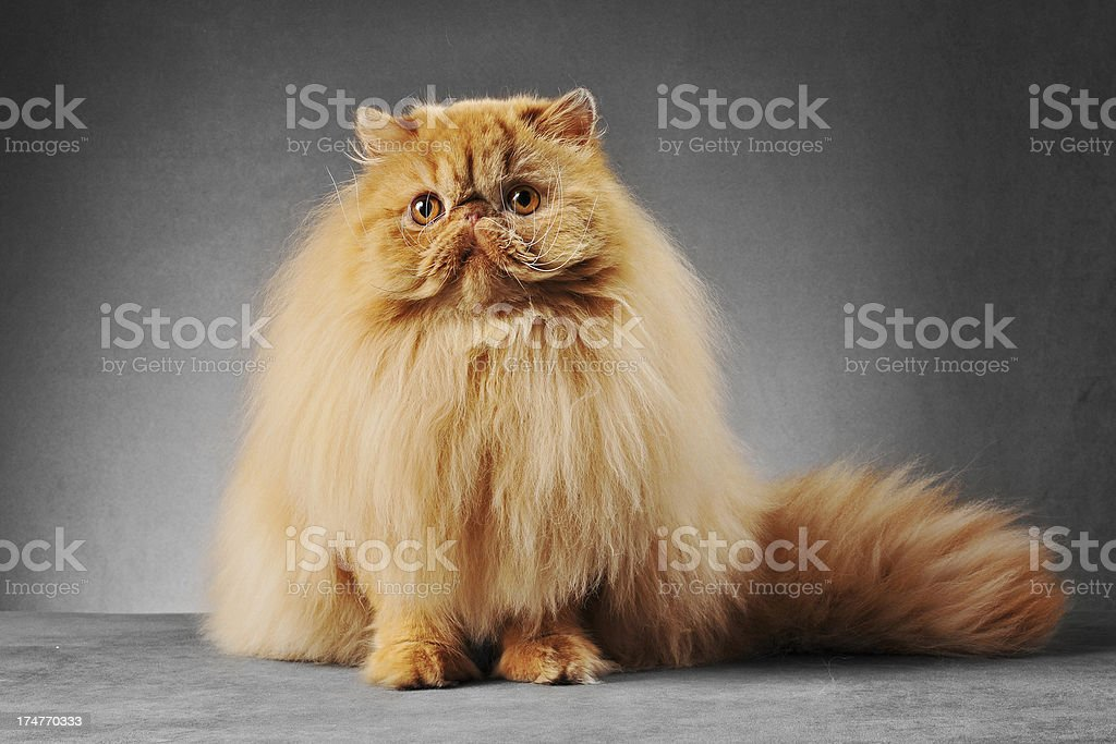 Red persian cat sitting down stock photo
