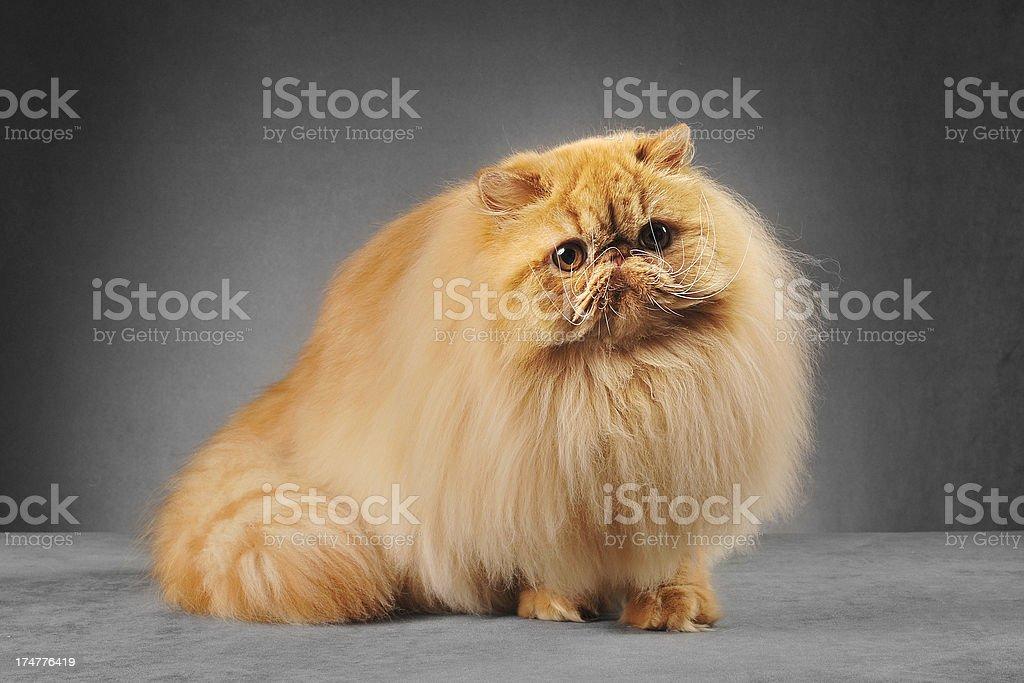 Red persian cat sitting stock photo