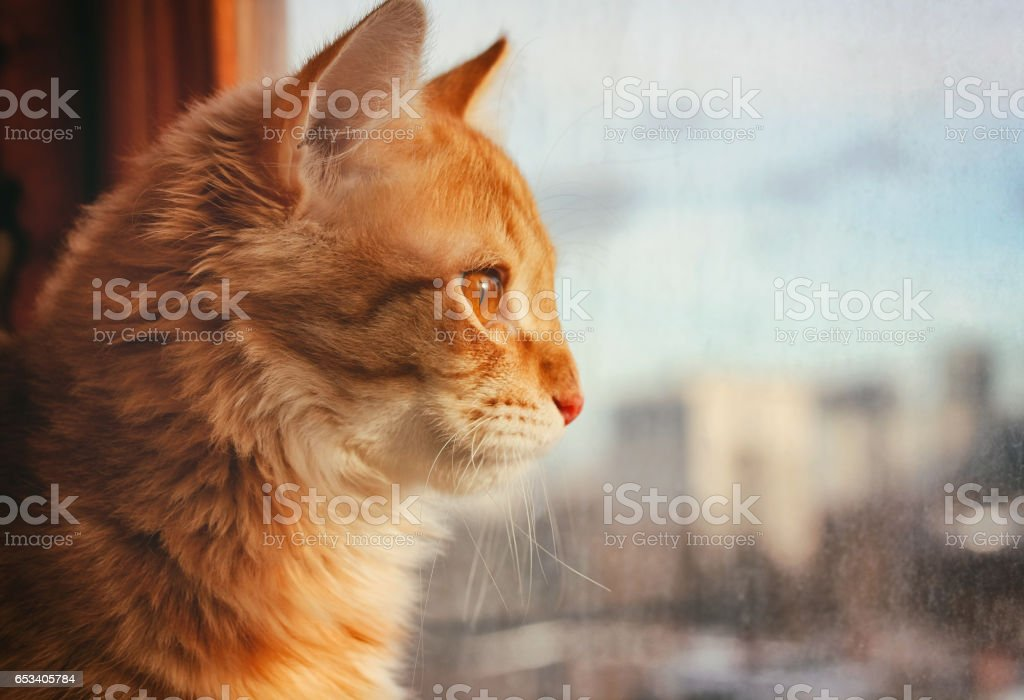 red pet cat sitting on the windowsill stock photo