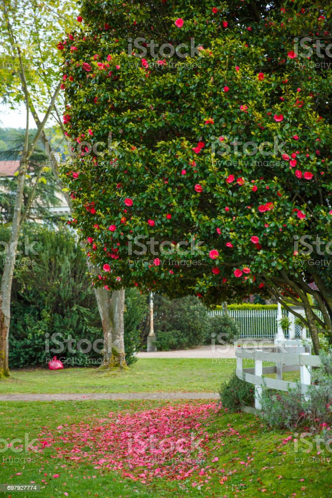 Red petals fall from the flowers of the tree to the grass stock photo