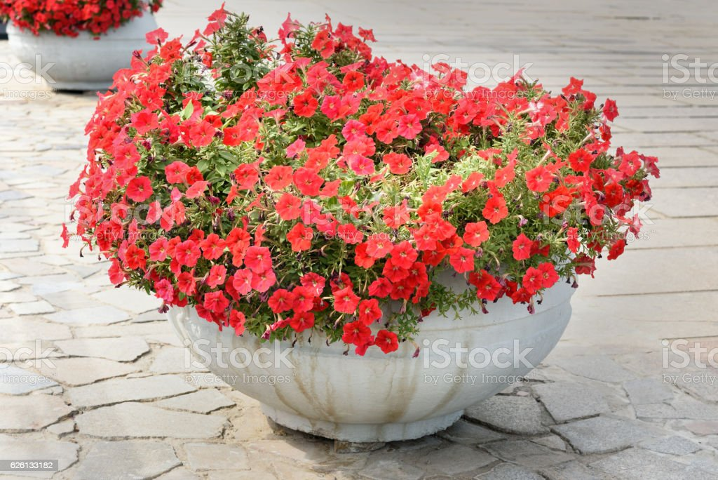 Red Petunia in flower pot stock photo