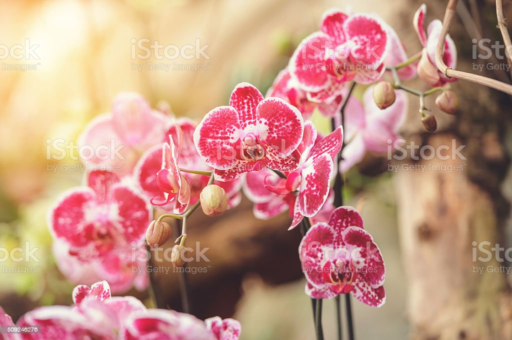 Red Phalaenopsis orchid stock photo