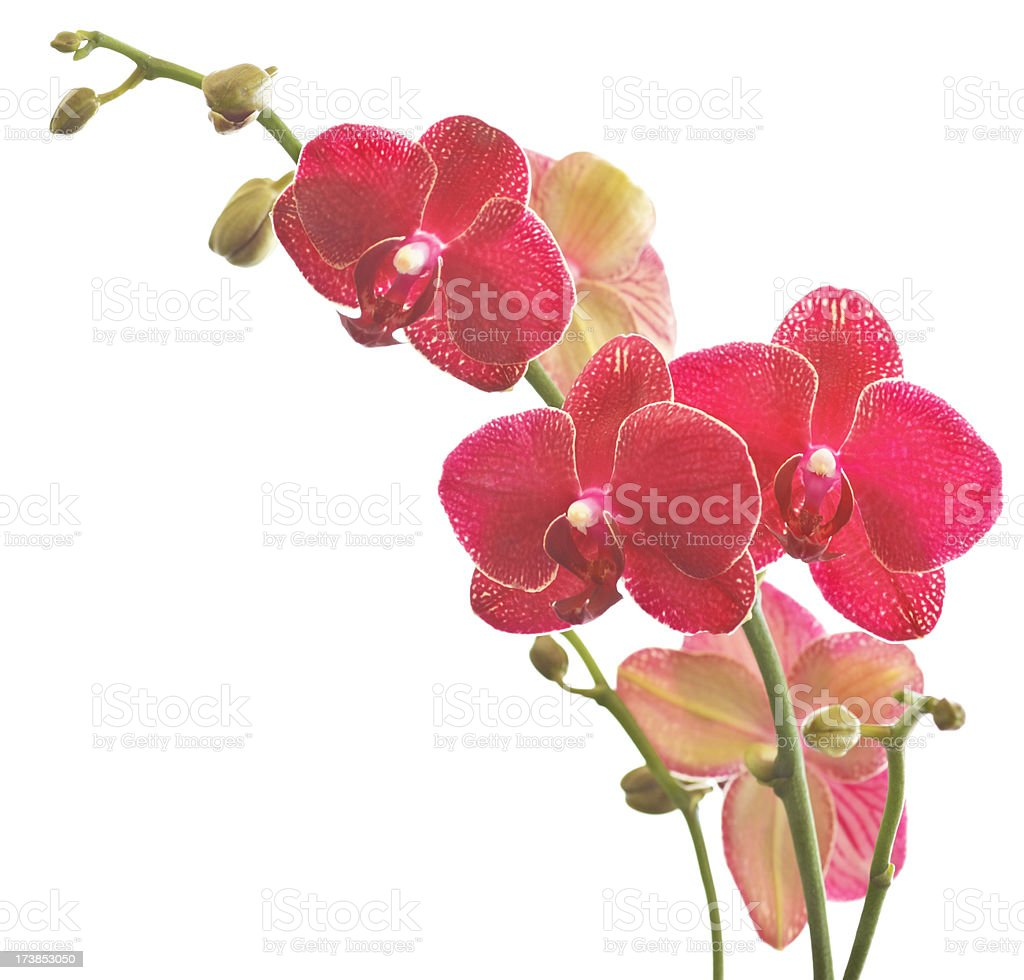 Red Phalaenopsis Orchids royalty-free stock photo