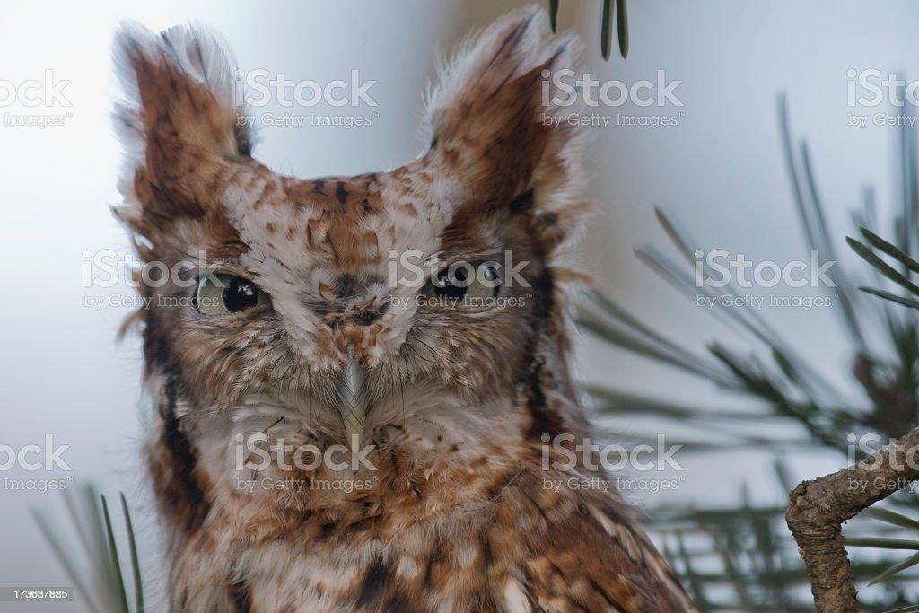 Red Phase Eastern Screech Owl (Otus asio) stock photo