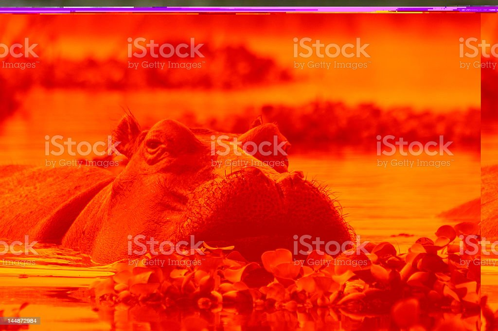 A red photograph showing a hippopotamus wallowing in water stock photo
