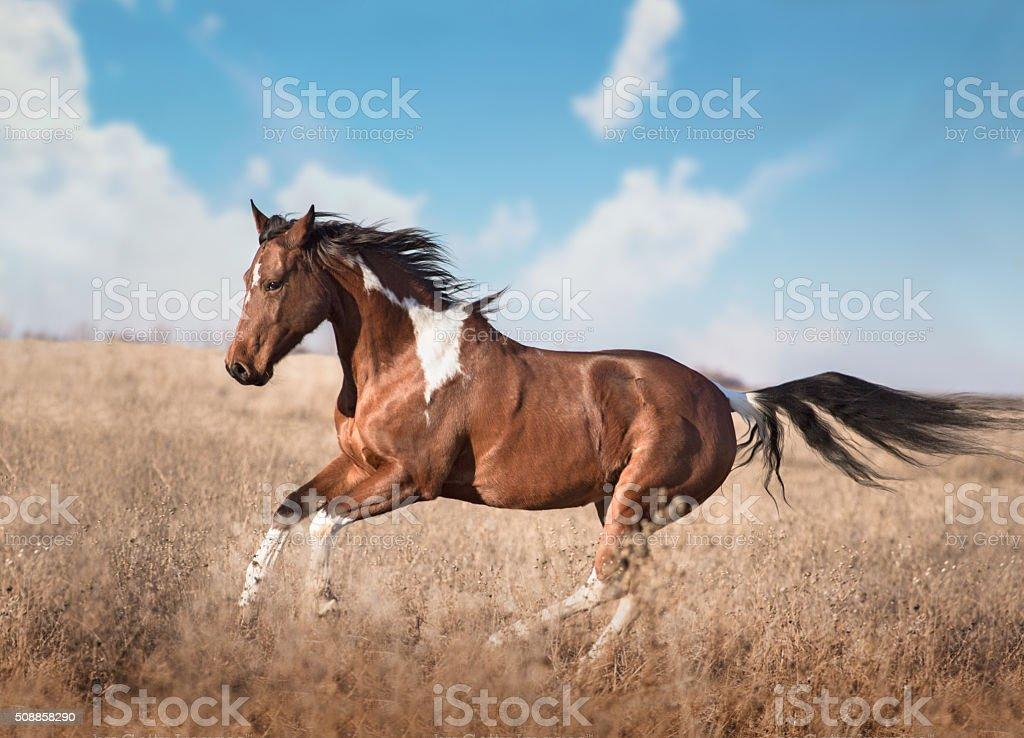 red piebald horse run stock photo