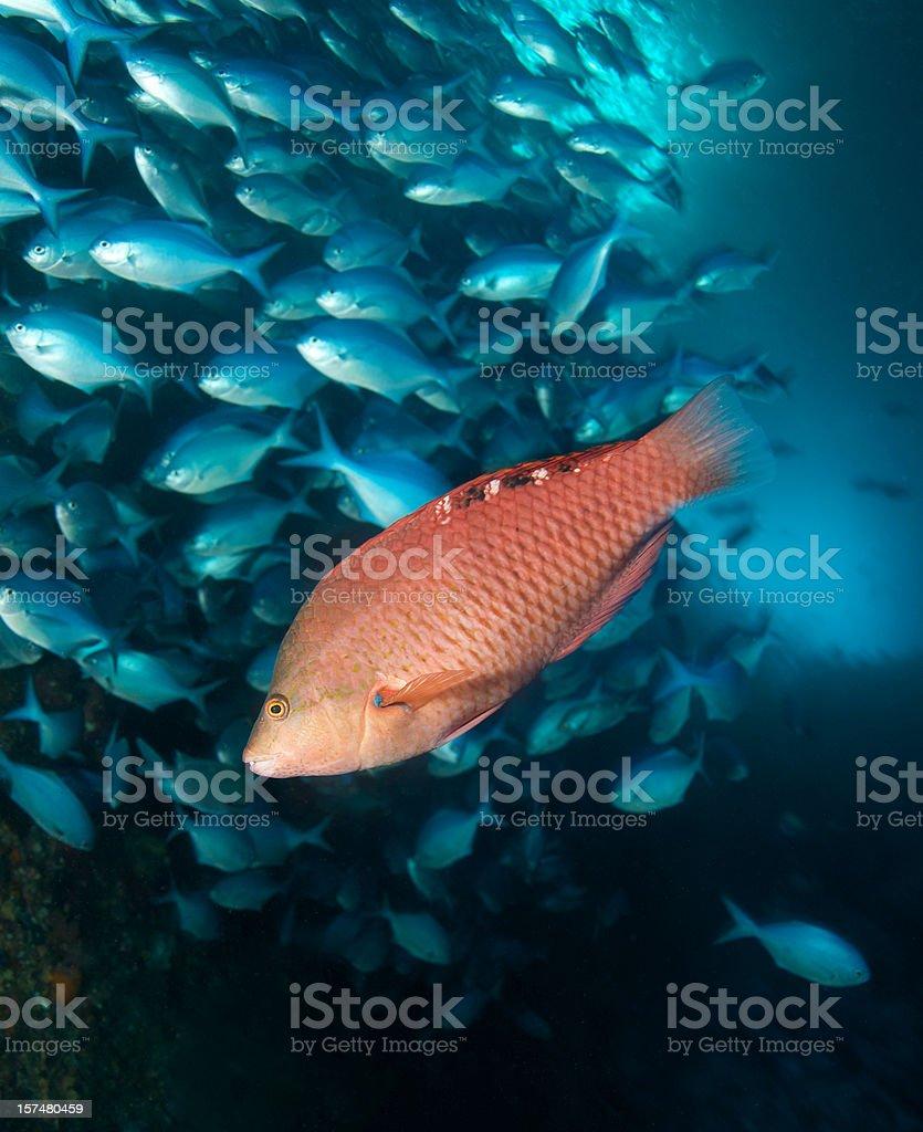 Red Pig Fish  stock photo