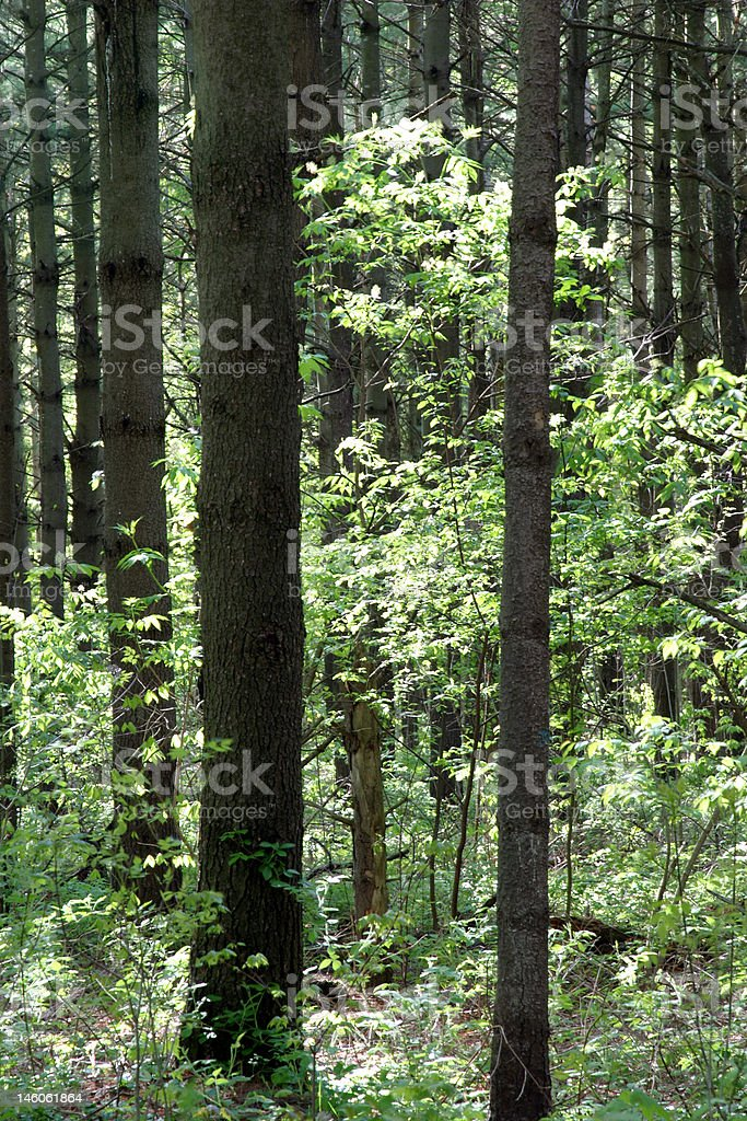 Red Pine Forest royalty-free stock photo