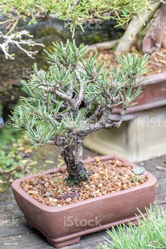 red pine stock photo