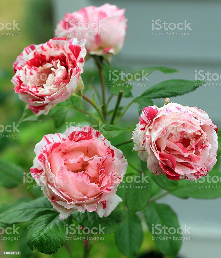Red, Pink, and White Floribunda Roses stock photo