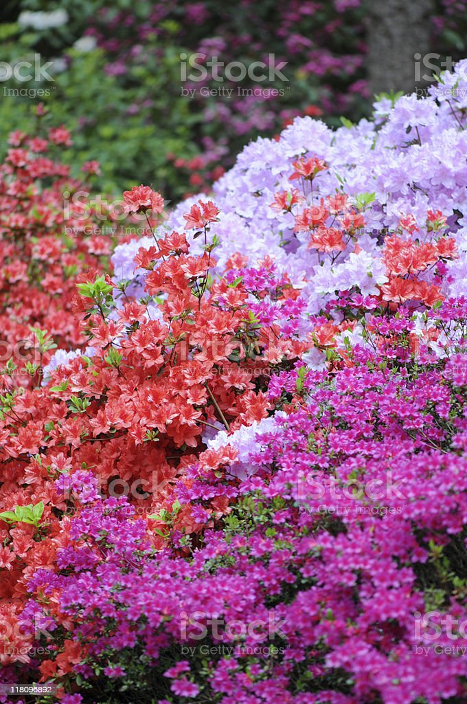 red pink Azalea (Rhododendron) stock photo
