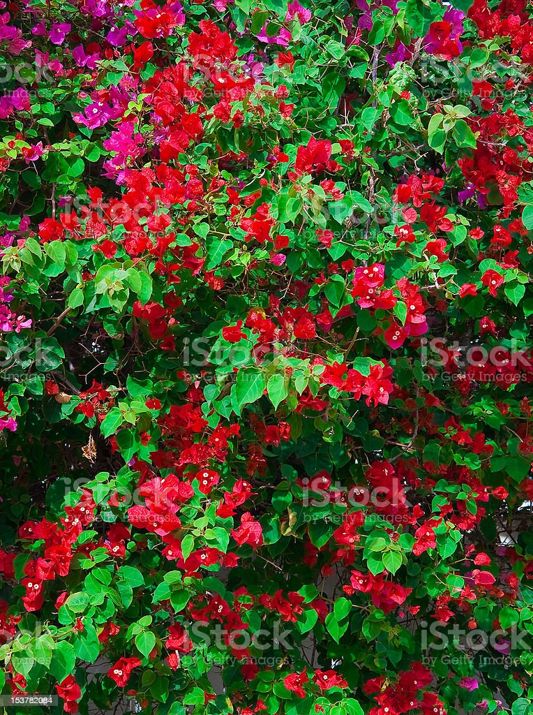 Red Pink blooming bougainvilleas with green foliage. Background. royalty-free stock photo