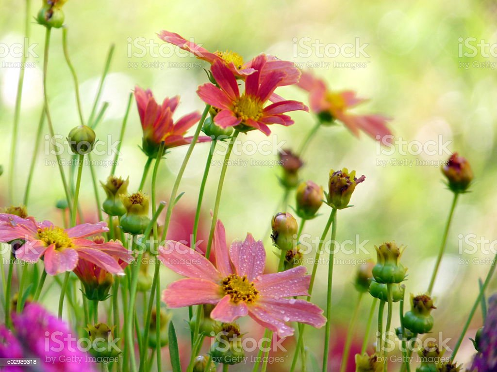 Red Pink Coreopsis Flowers and Buds Dew Drops Flower Bed stock photo