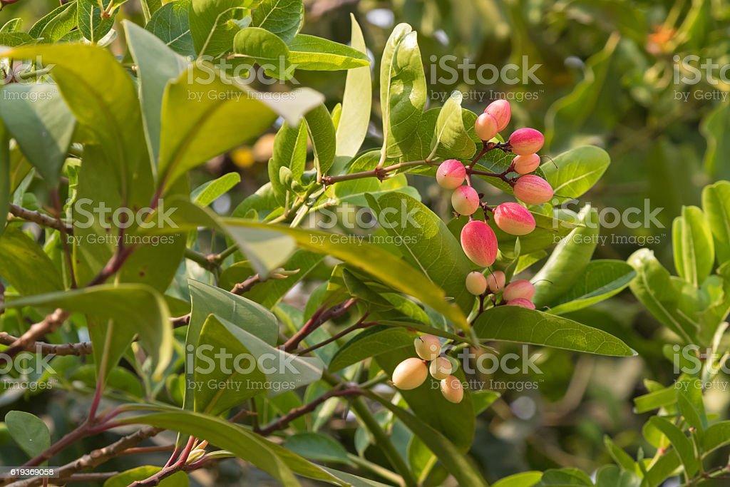 Red pink Crane berry fruit of Karonda plant grown stock photo