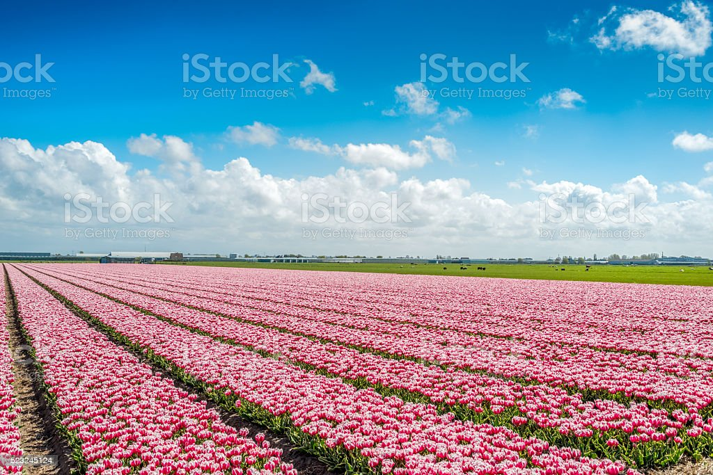 Red pink tulips, typical Dutch scene. stock photo