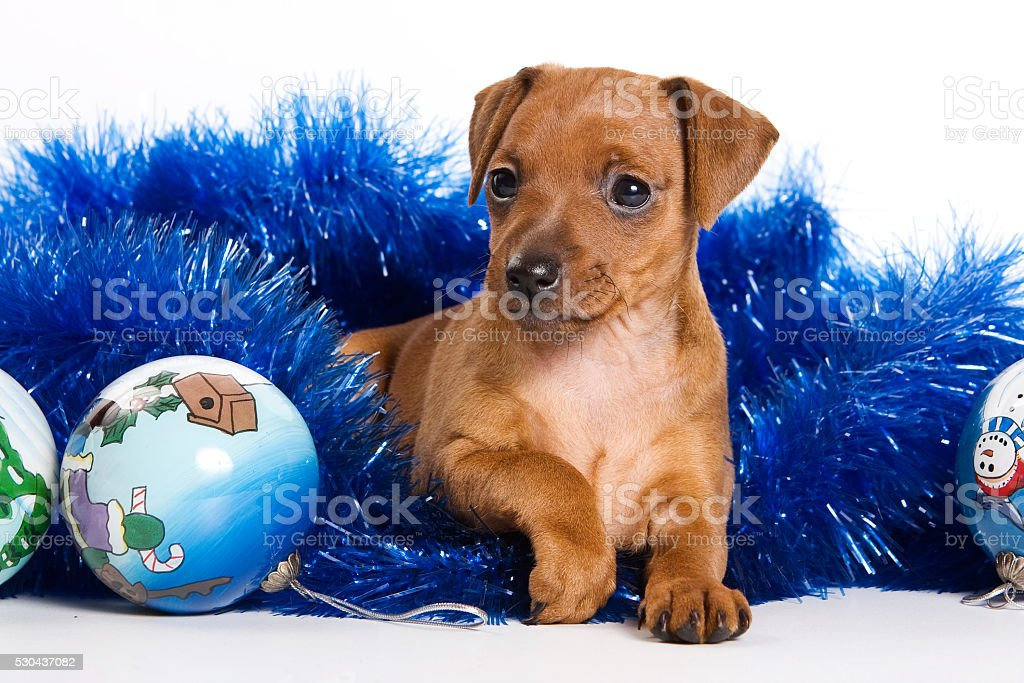 Red Pinscher puppy and New Year (isolated on white) stock photo