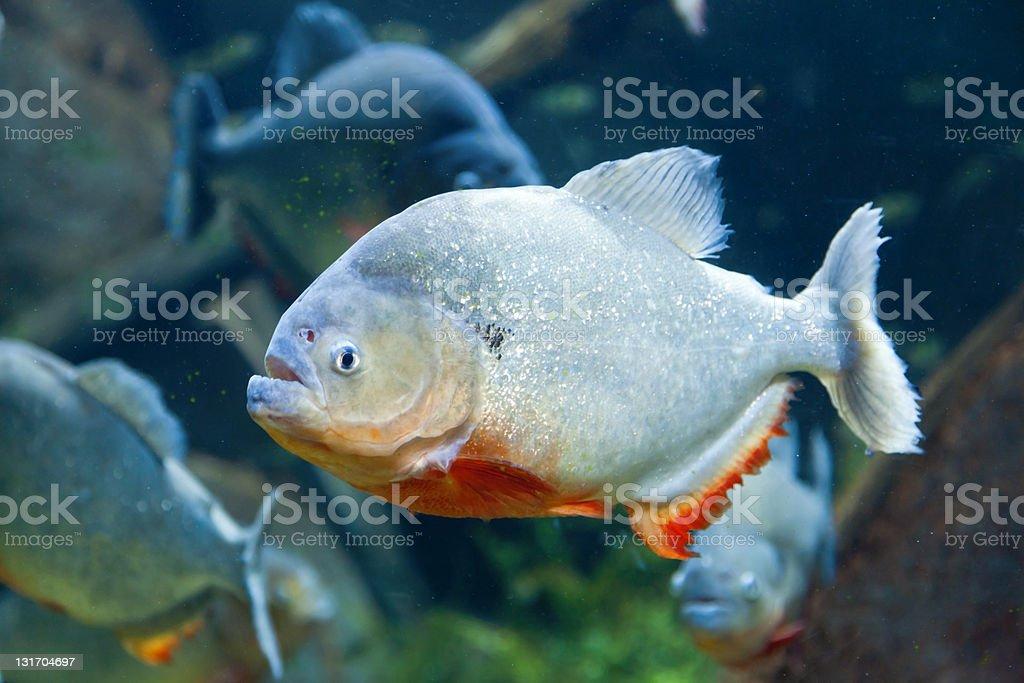 Red piranha stock photo