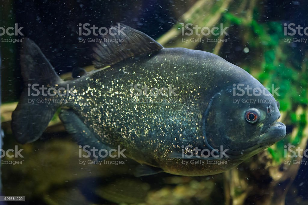 Red piranha (Pygocentrus nattereri). stock photo