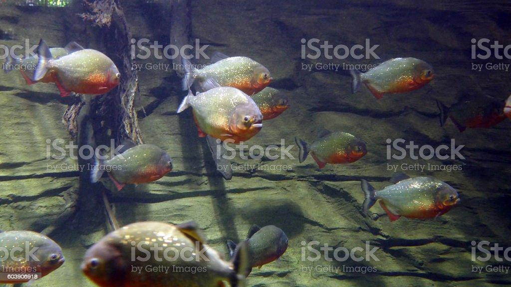 Red Piranhas stock photo