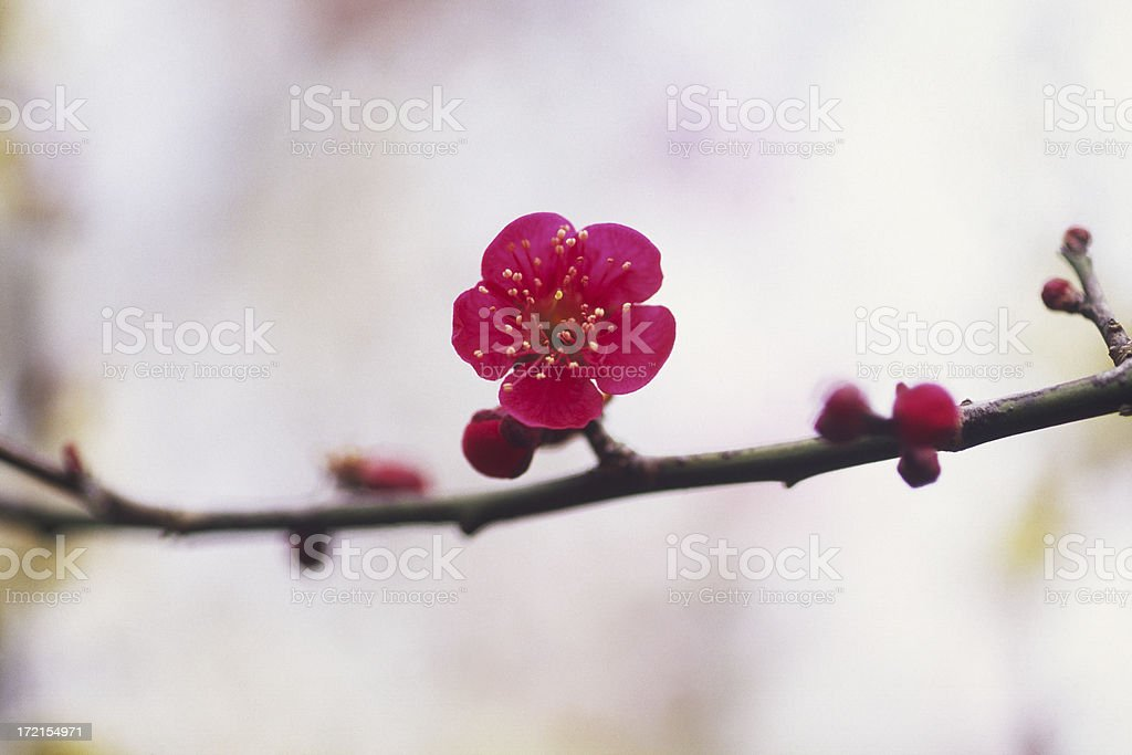 Red plum against white royalty-free stock photo
