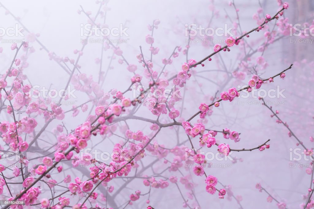 red plum blooming in winter in mist stock photo