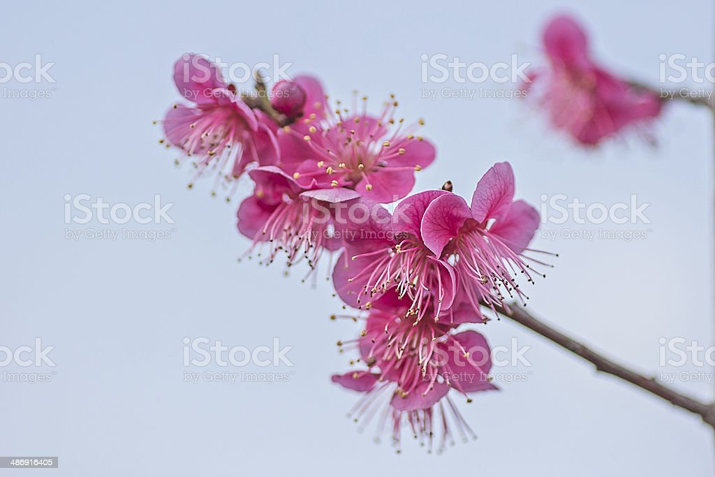 Red Plum Blossom stock photo