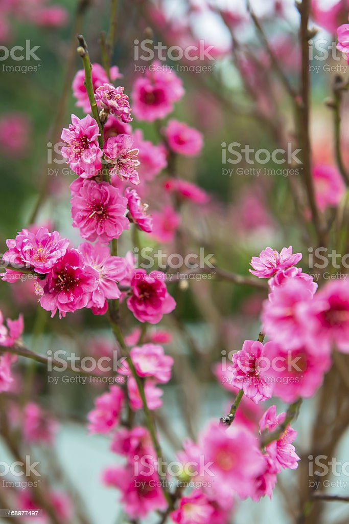 red Plum blossoms royalty-free stock photo