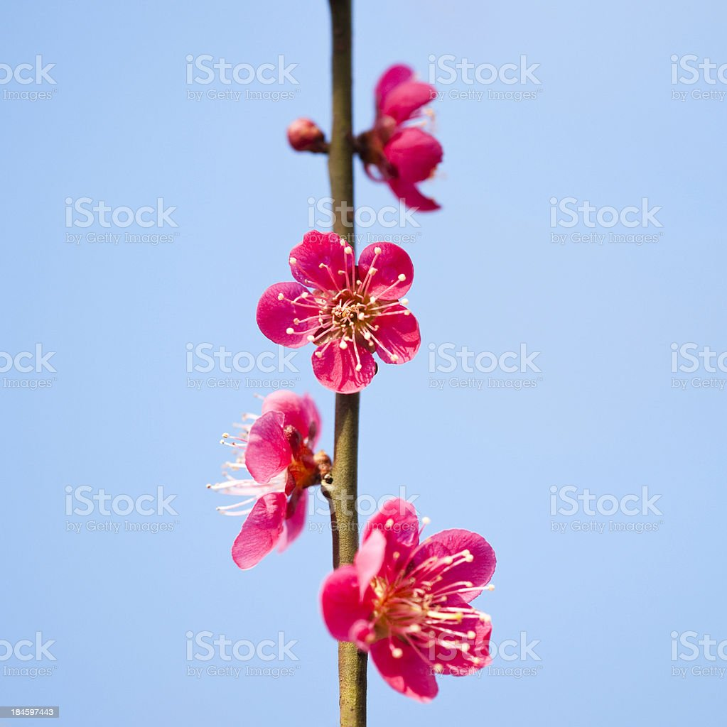 Red plum flowers on a stalk stock photo