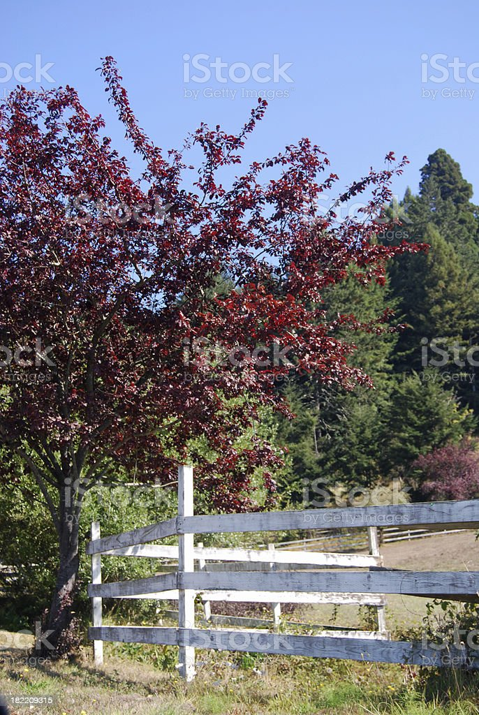 Red Plum Tree and Fence stock photo