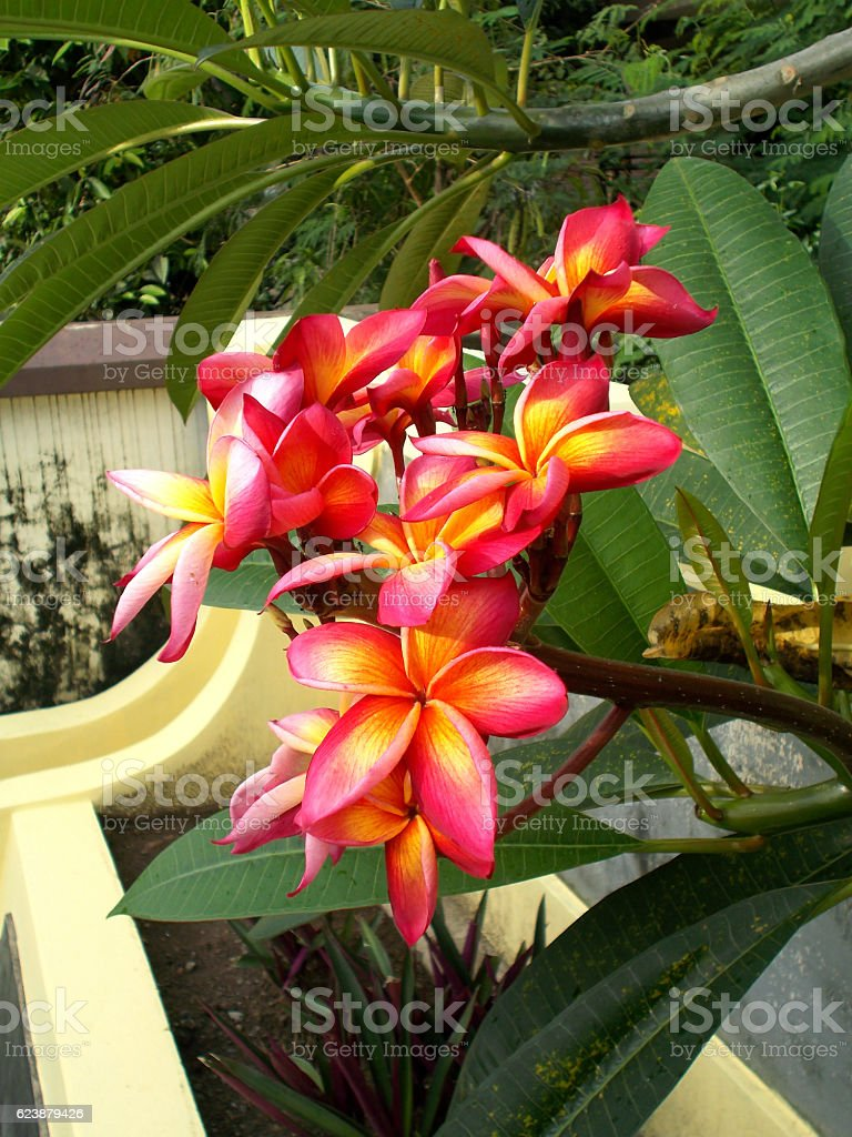 Red plumeria at the tree stock photo