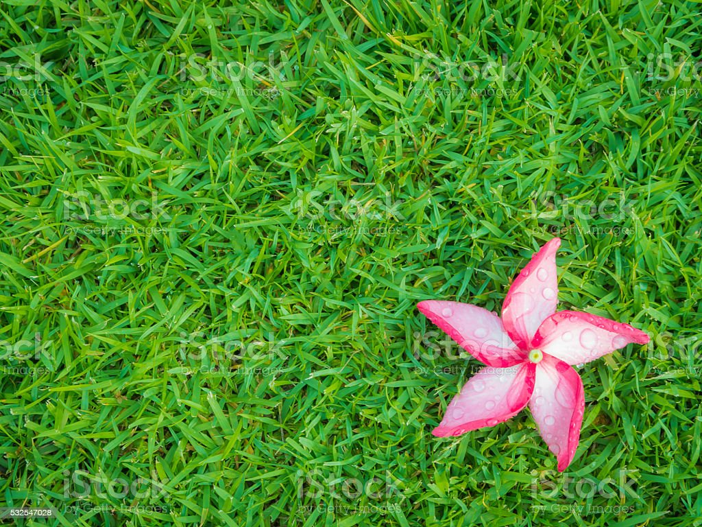 Red Plumeria Flower with Dew on Grassland stock photo