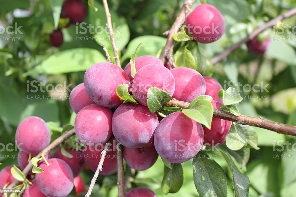 Red plums on tree stock photo