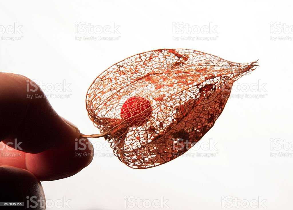 red pod of physalis on the black background stock photo