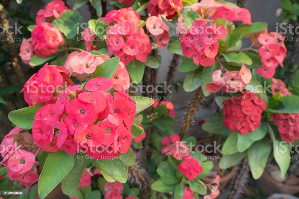 Red Poi Sian flowers. stock photo