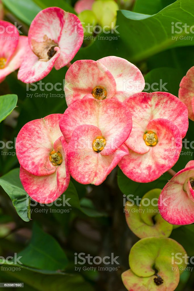 Red Poi Sian  flowers stock photo