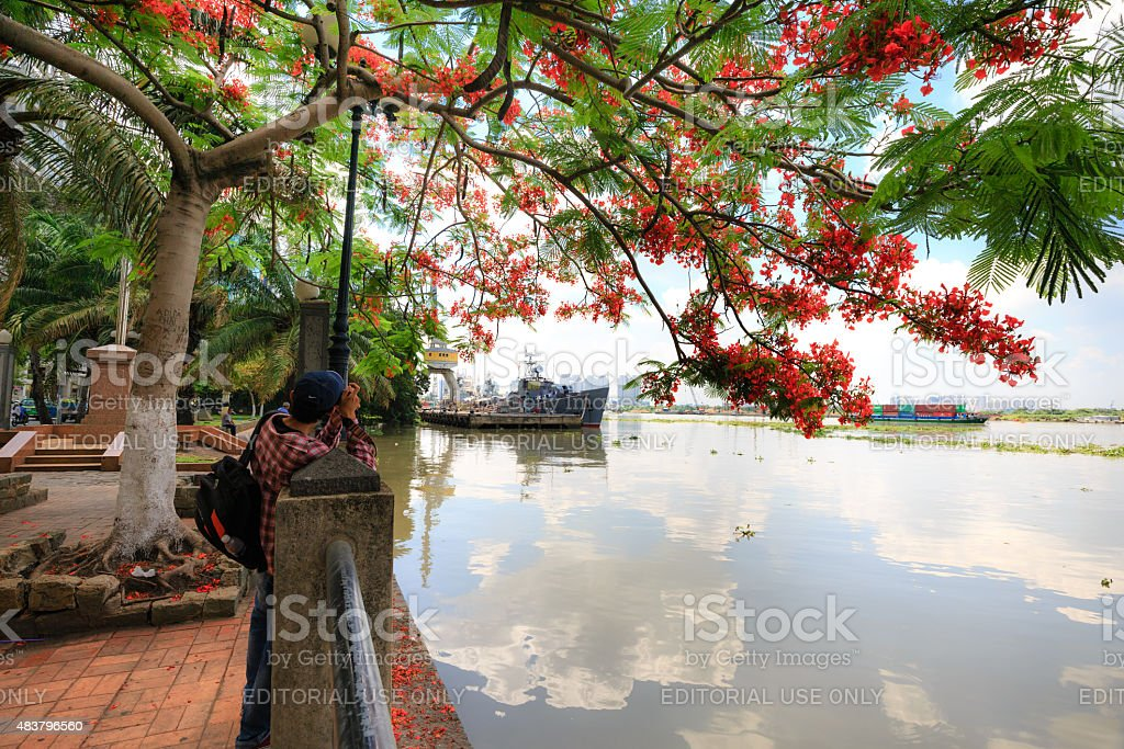 red poinciana have blossomed on the bank of Saigon River stock photo
