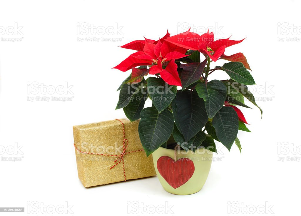 red poinsettia and gift box stock photo