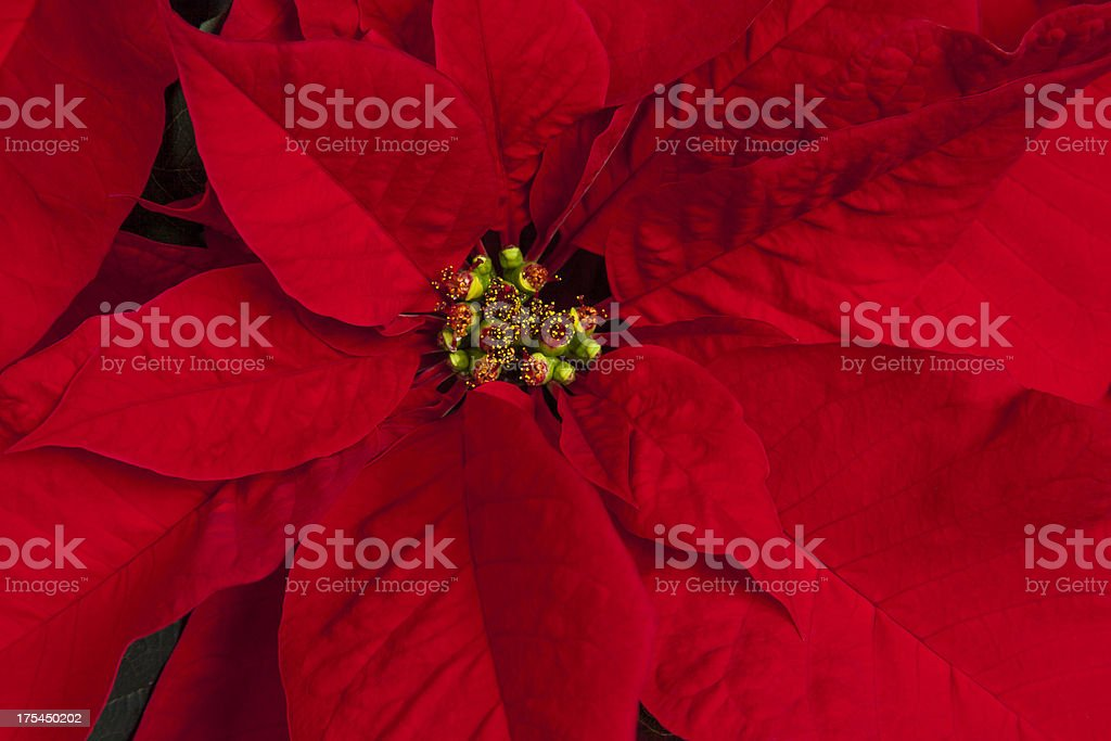Red Poinsettia Close Up stock photo