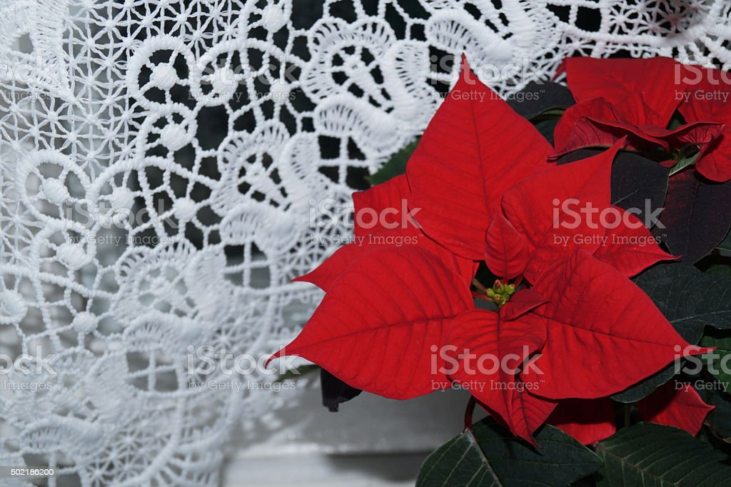 Red poinsettia flower stock photo