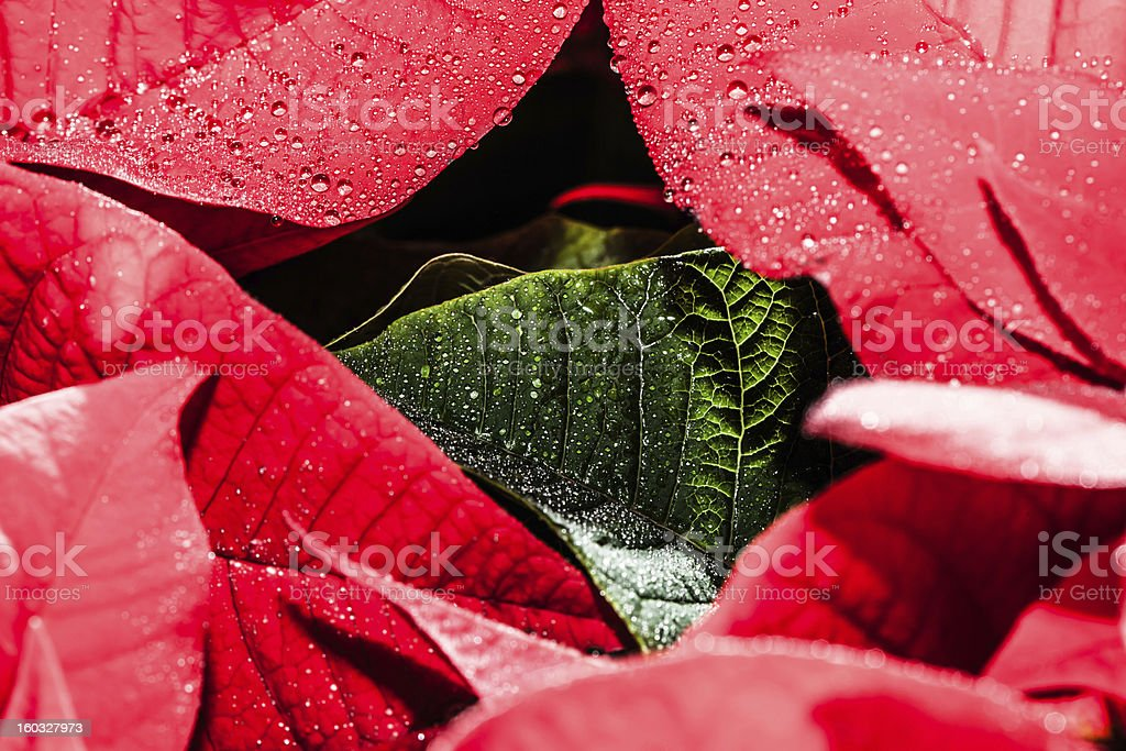 Red poinsettia garden with green leaves - christmas flower royalty-free stock photo