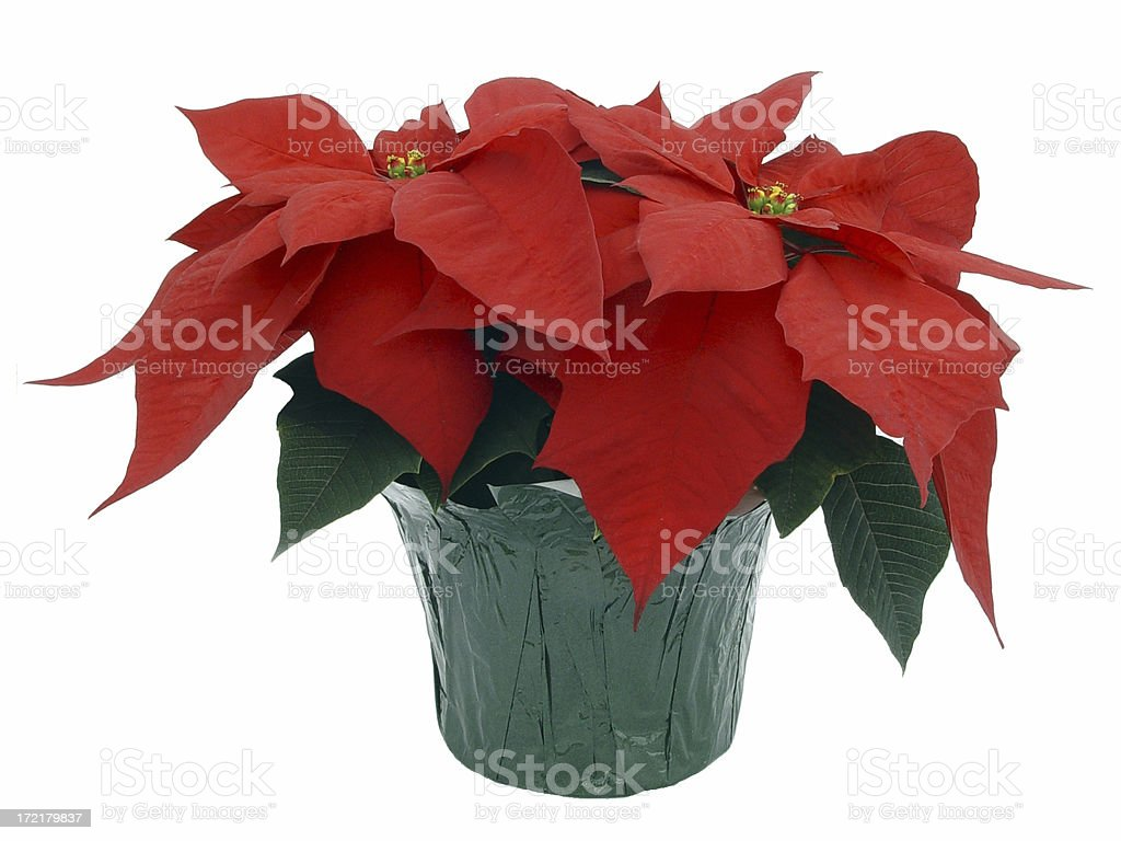 Red Poinsettia - Isolated stock photo