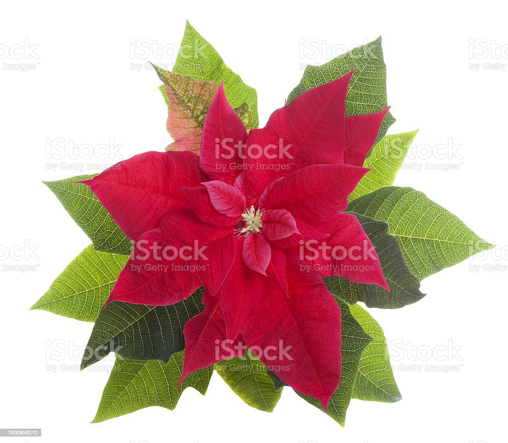 Red poinsettia, Isolated royalty-free stock photo