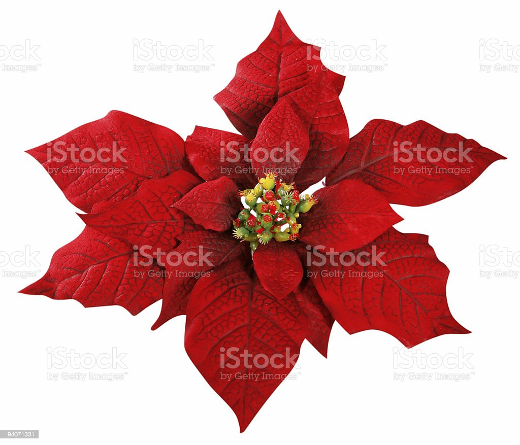 red poinsettia, Isolated stock photo