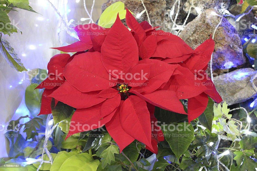 Red poinsettia royalty-free stock photo