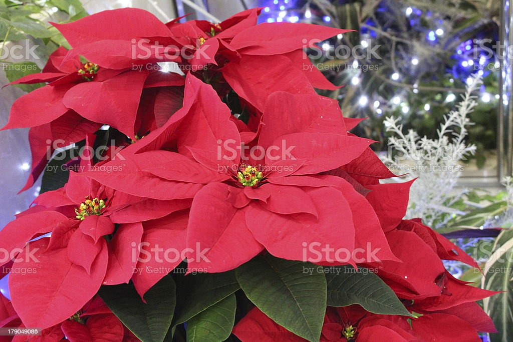 Red poinsettia royalty-free stock photo
