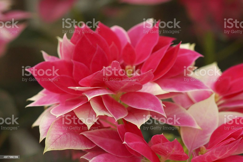 red poinsettia (Christmas Flower) royalty-free stock photo