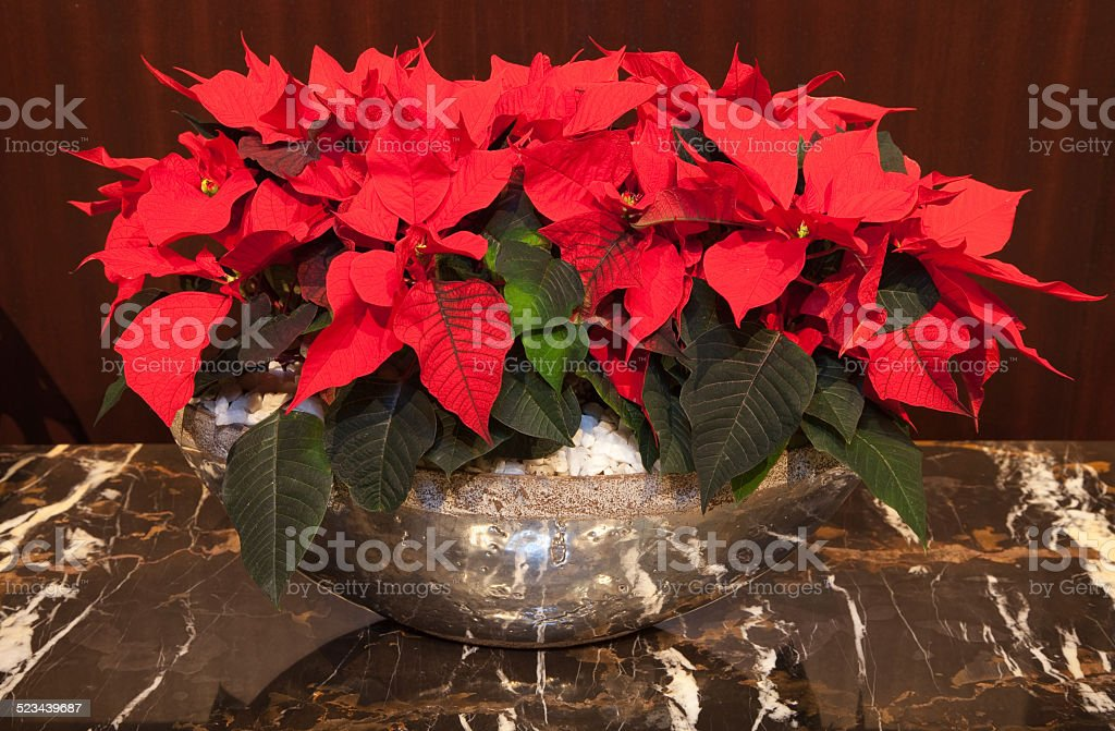 Red poinsettia plant in a silver bowl on brown marble stock photo