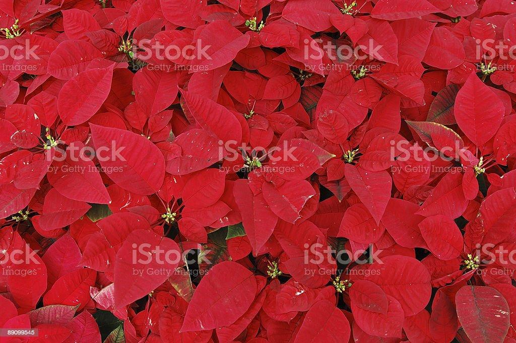 Red poinsettia plants royalty-free stock photo
