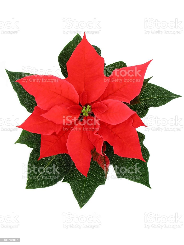 Red poinsettia with its green fresh looking leaf royalty-free stock photo