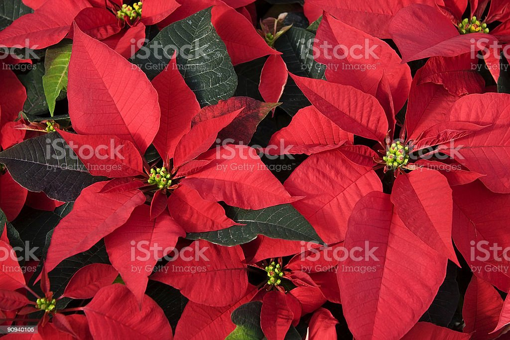 Red Poinsettias for Christmas royalty-free stock photo
